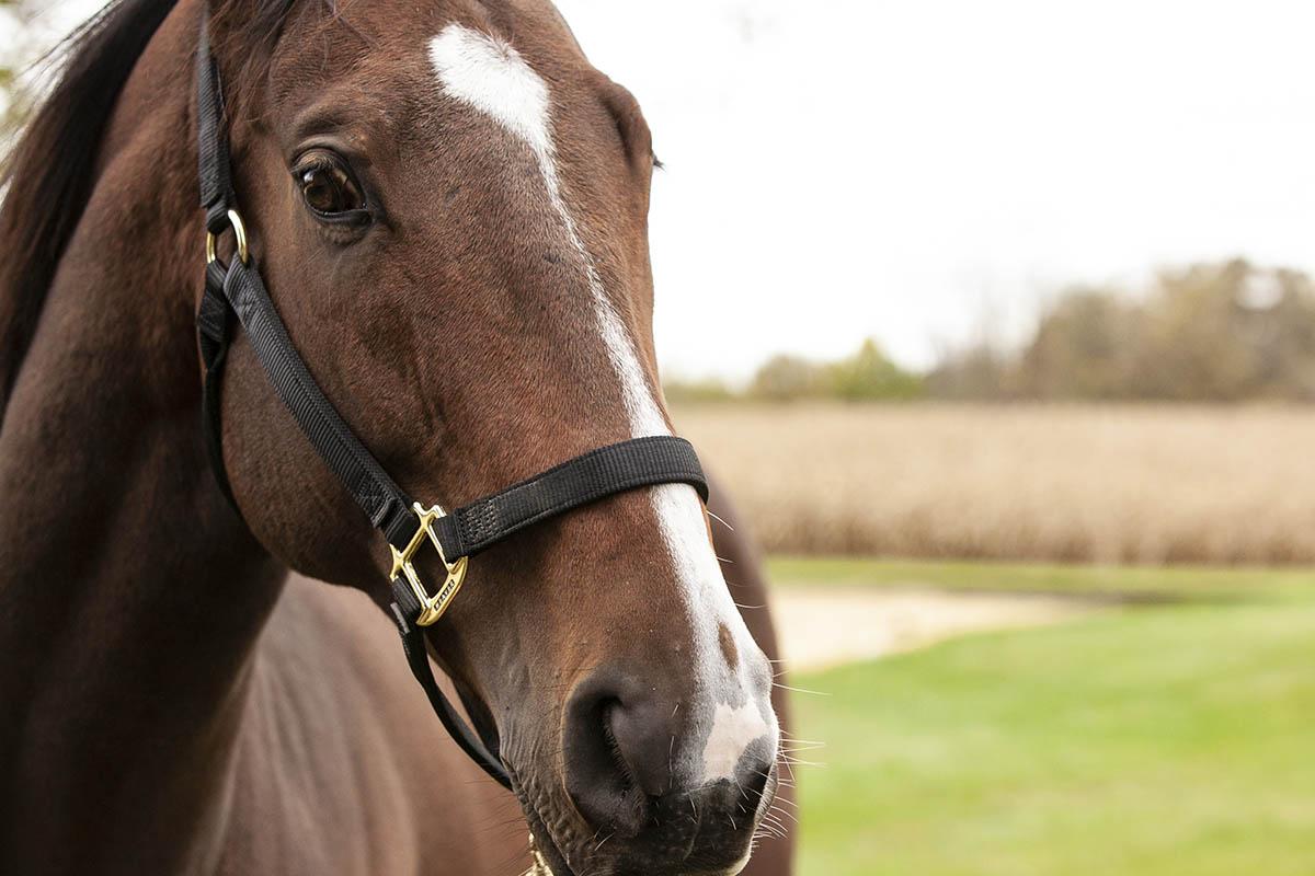 Koń w czarnym kantarze